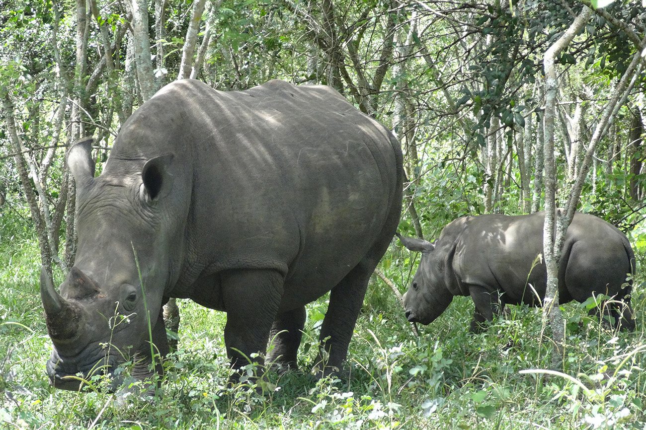 Southern white rhinos at Ziwa Rhino and Wildlife Ranch.