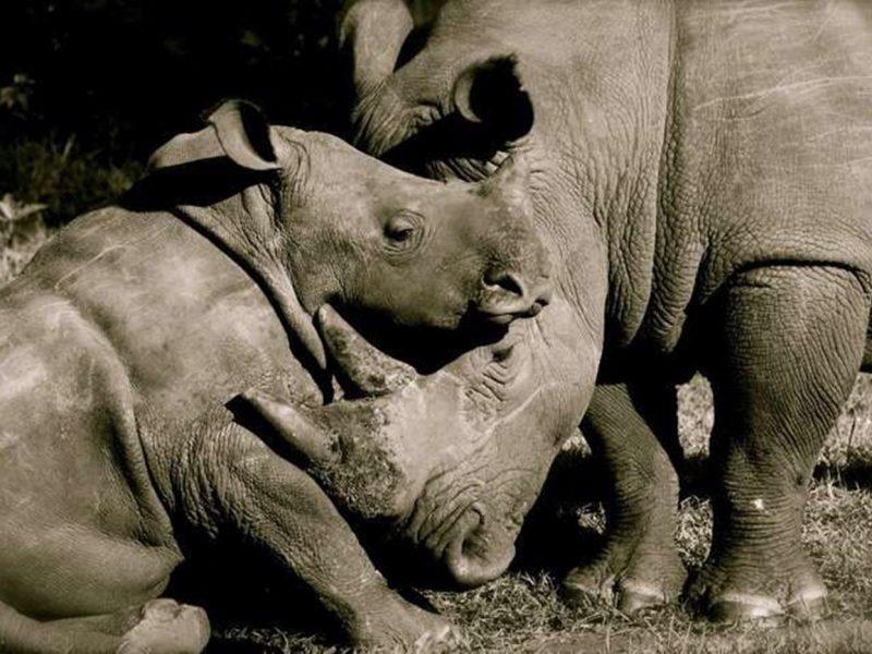 Southern white rhinos at Ziwa Rhino sanctuary.