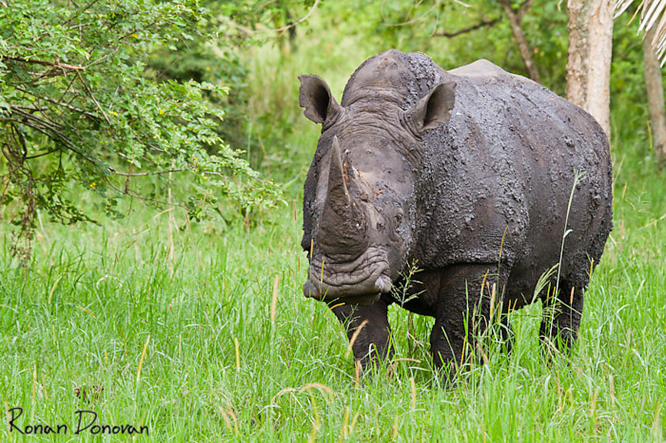 Southern White Rhino after mud shower Ziwa Rhino sanctuary Uganda