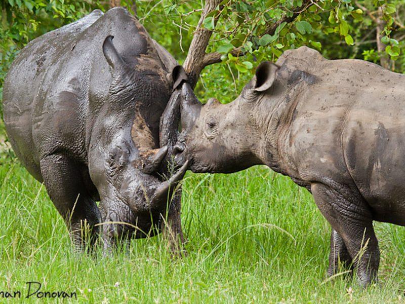 Ziwa Southern White Rhinos after a mud shower Uganda
