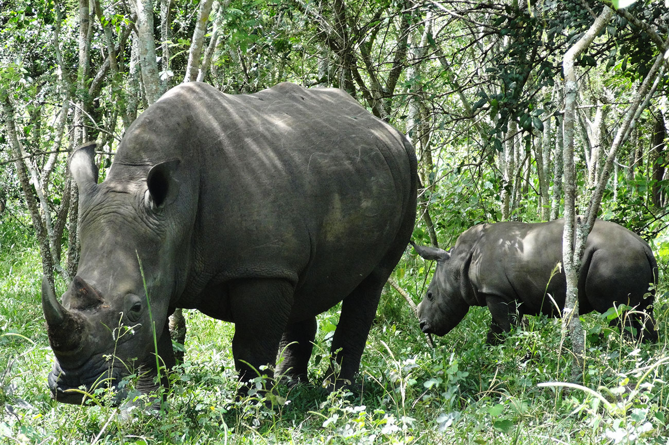 Mother and baby Rhino at Ziwa Rhino sanctuary Uganda