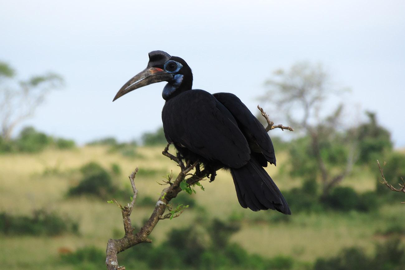 Abyssinian Ground Hornbill, Murchison falls national park, Uganda