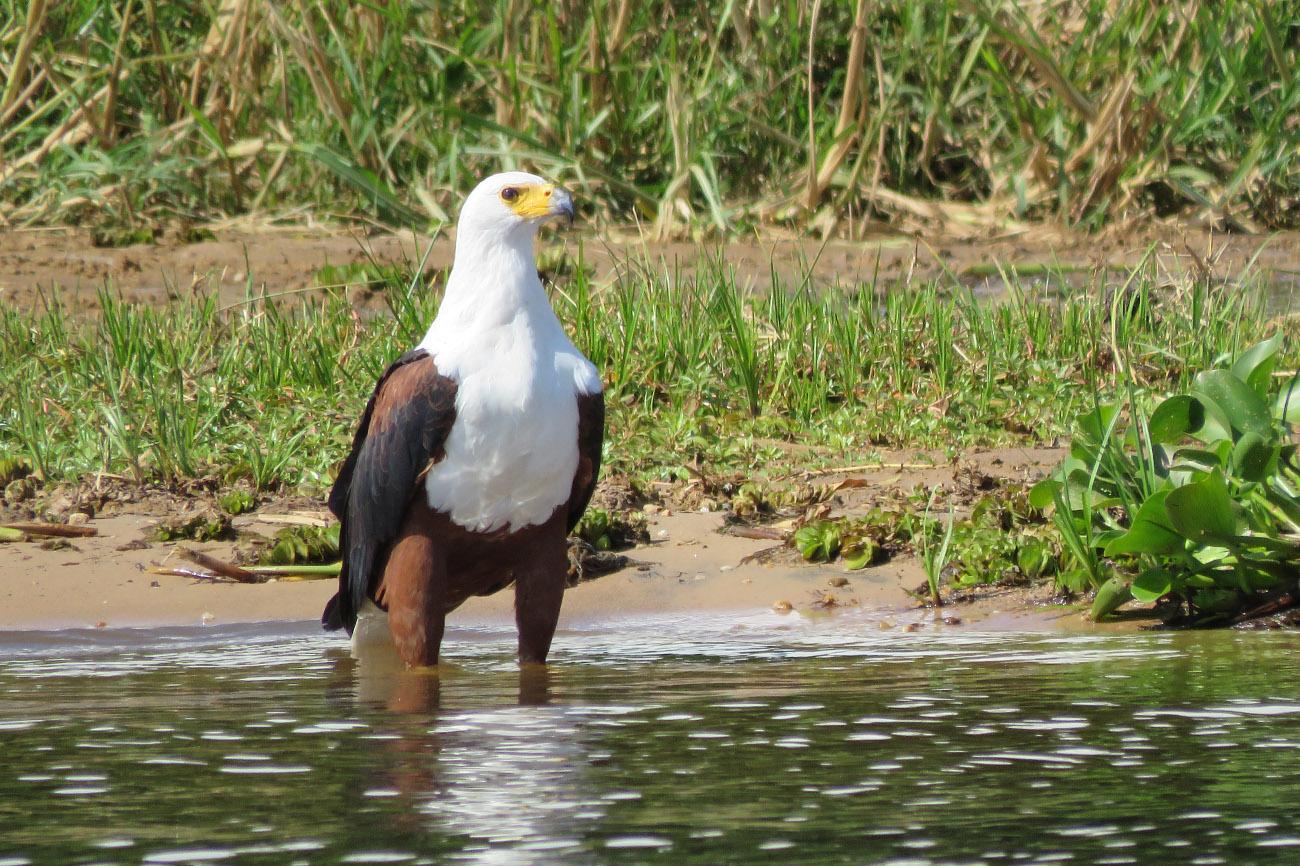 African Fish Eagle in the water in Uganda.
