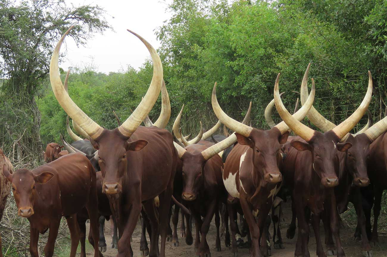 Ankole Long Horn cows.