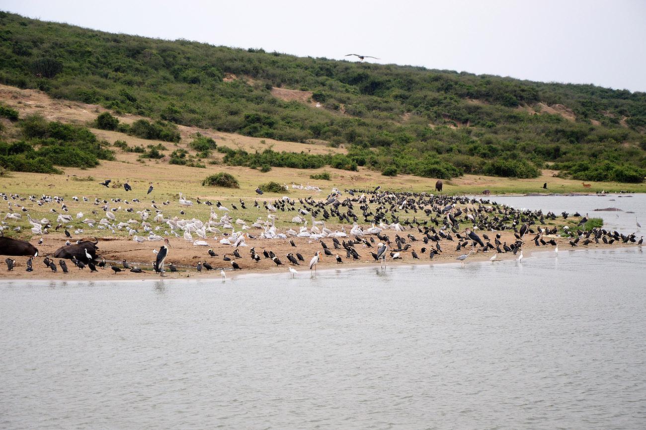 Birds at the Kazinga Channel in Uganda.