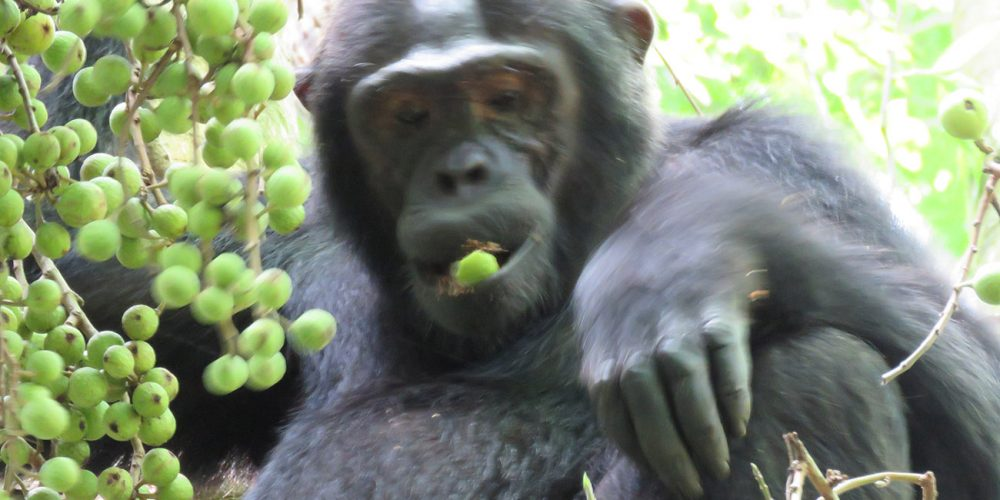 Chimp relaxing in Kibale in Uganda.