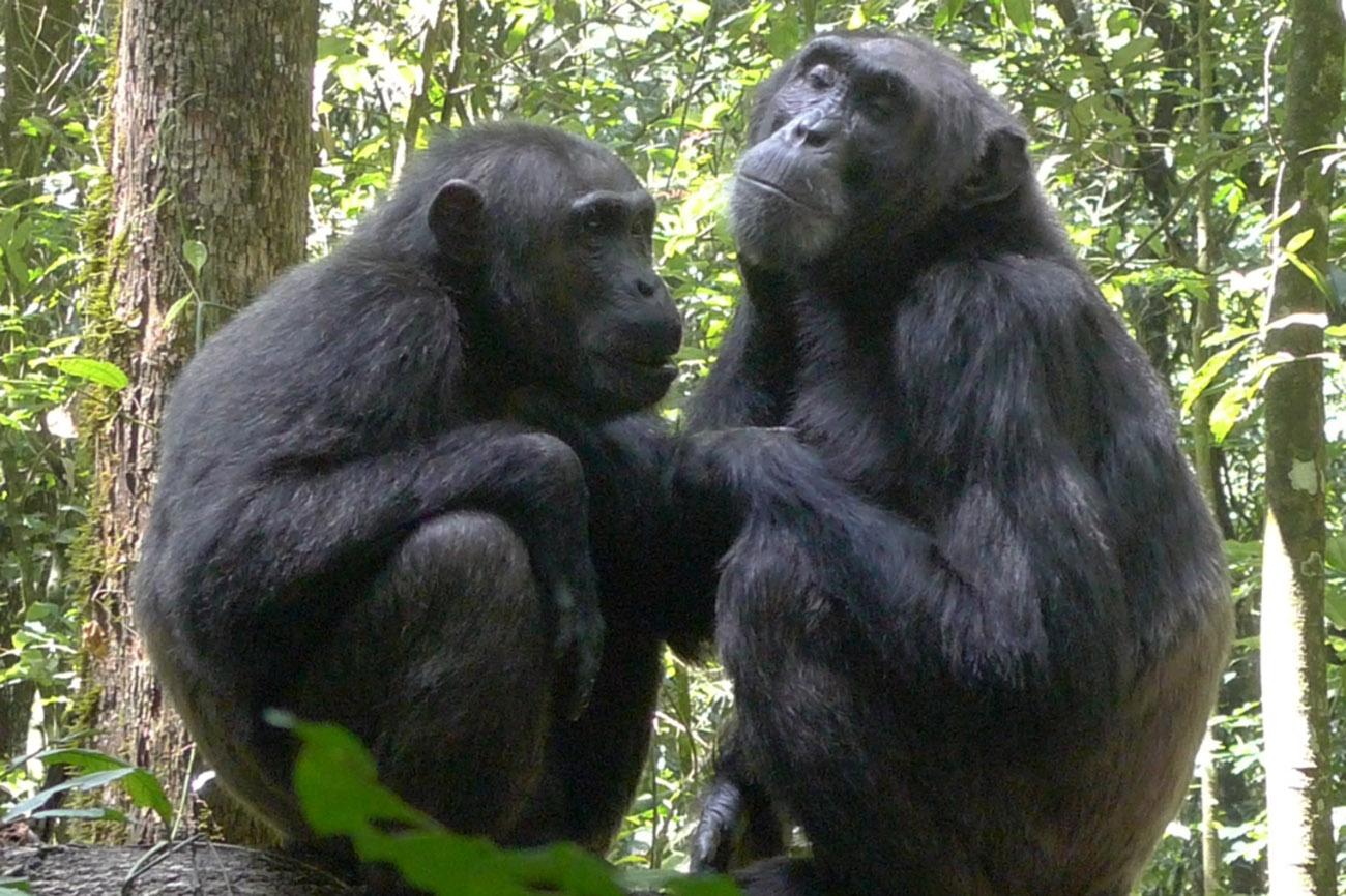 Chimps near Lake Kyaninga in Uganda.