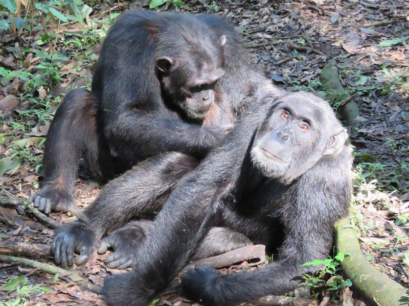 Chimps grooming in Kibale forest national park Uganda