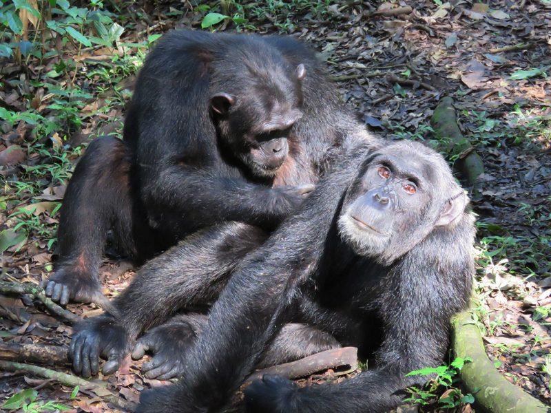 Chimps grooming Kibale forest national park Uganda