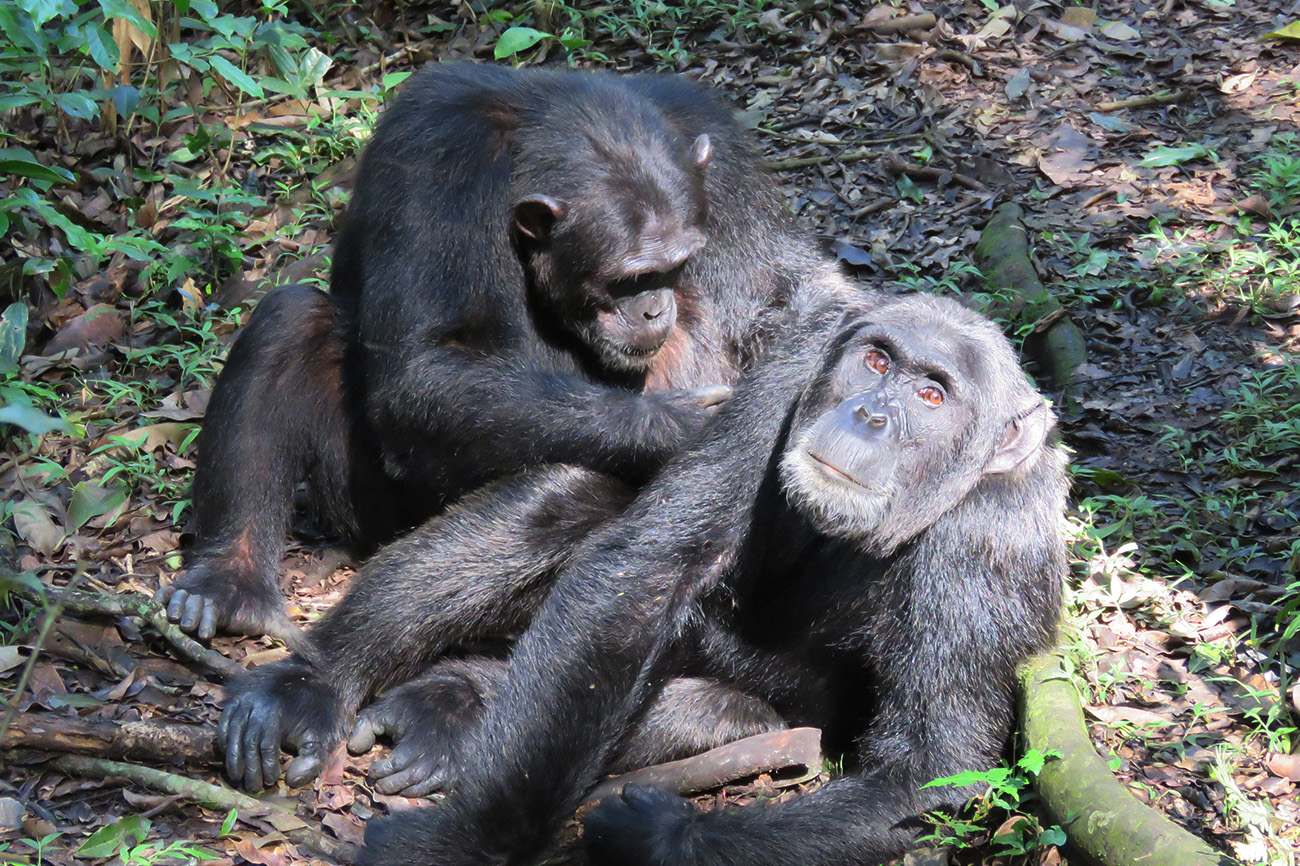 Chimps grooming Kibale forest national park Uganda