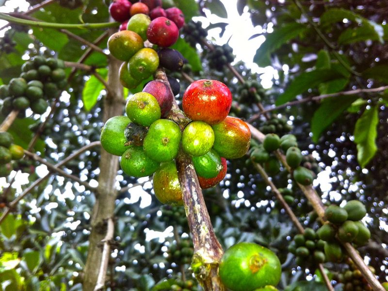 Coffee growing in Uganda.