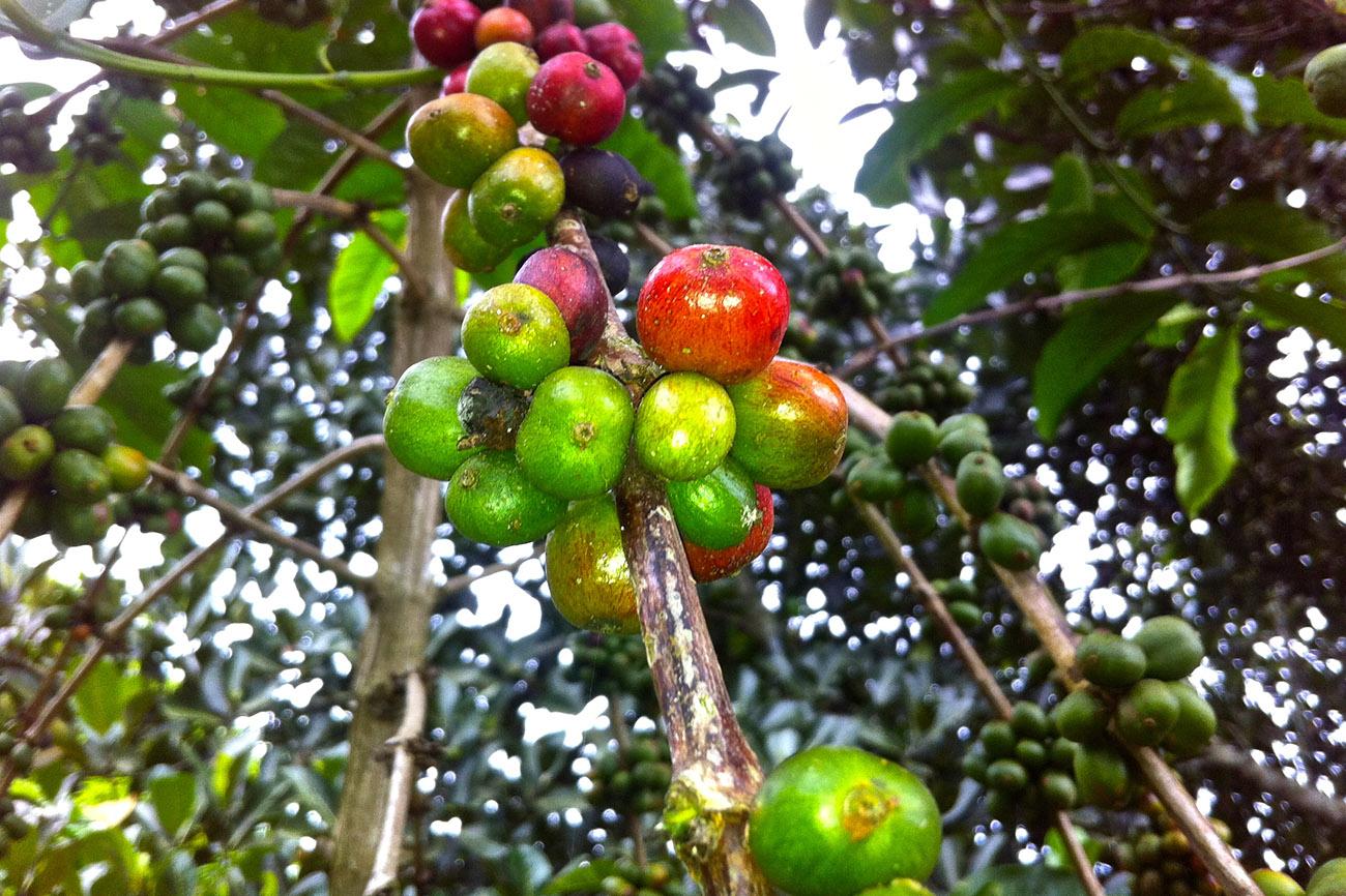 Coffee growing in Uganda.