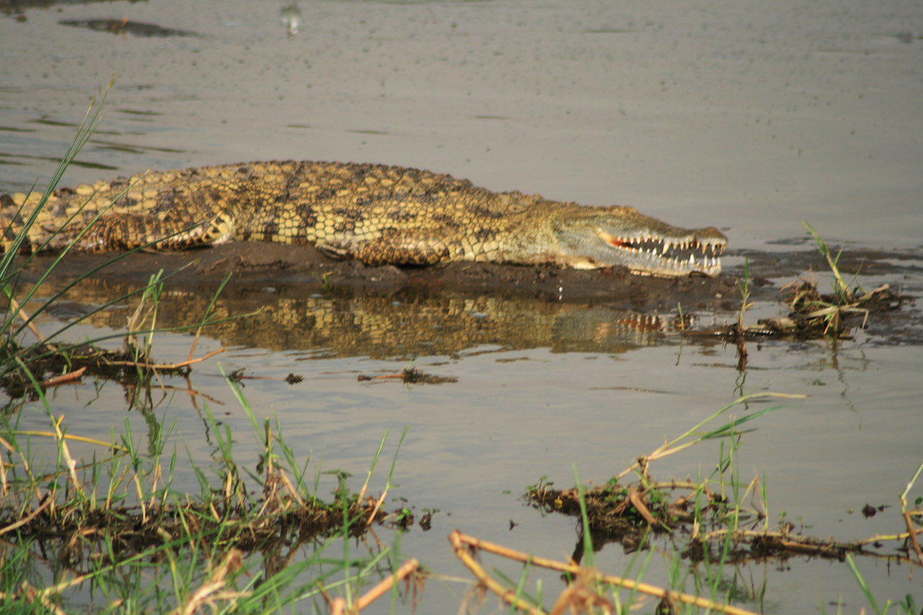 Crocodile on river Nile banks, Murchison falls national Park
