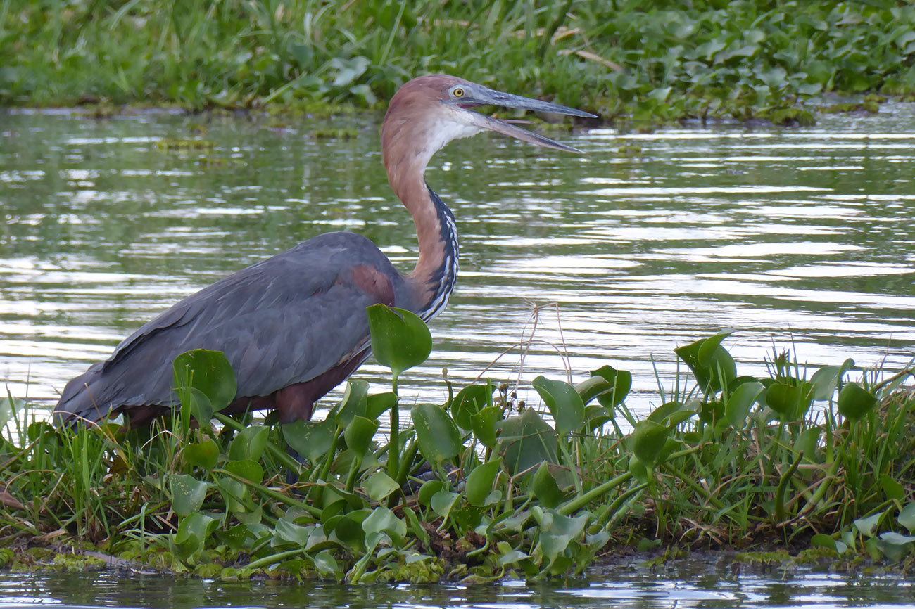 Goliath Heron on river Nile Northern Uganda