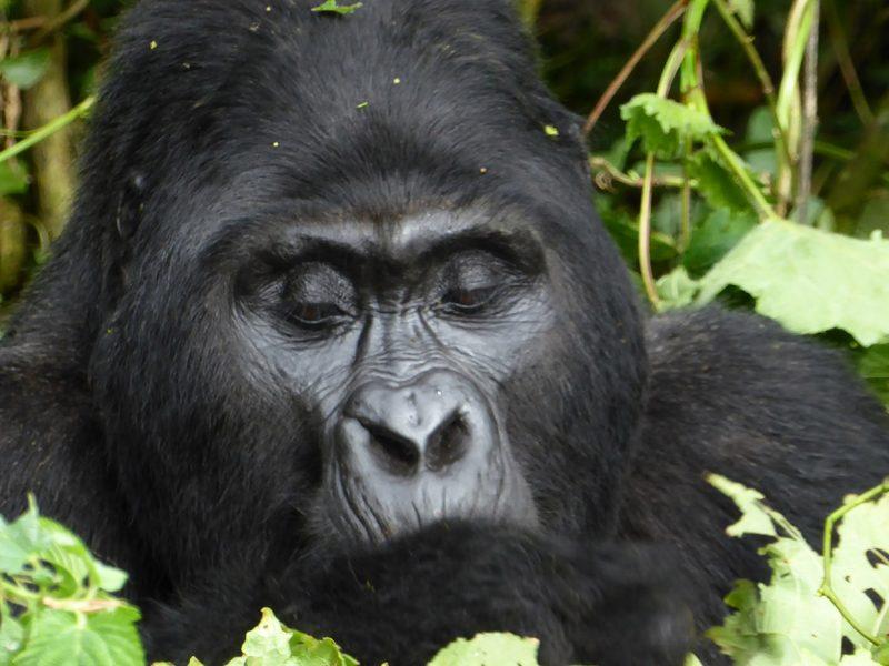 Gorilla Mgahinga national park Uganda