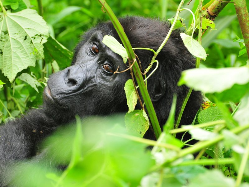 Gorilla tracking Buhoma section Bwindi forest national park