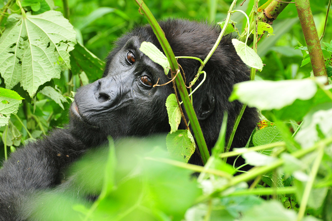 Gorilla tracking near Buhoma, Uganda.