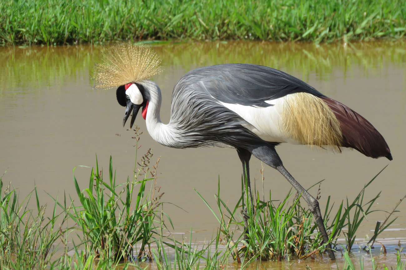 Grey crowned Crane, Kampala Uganda