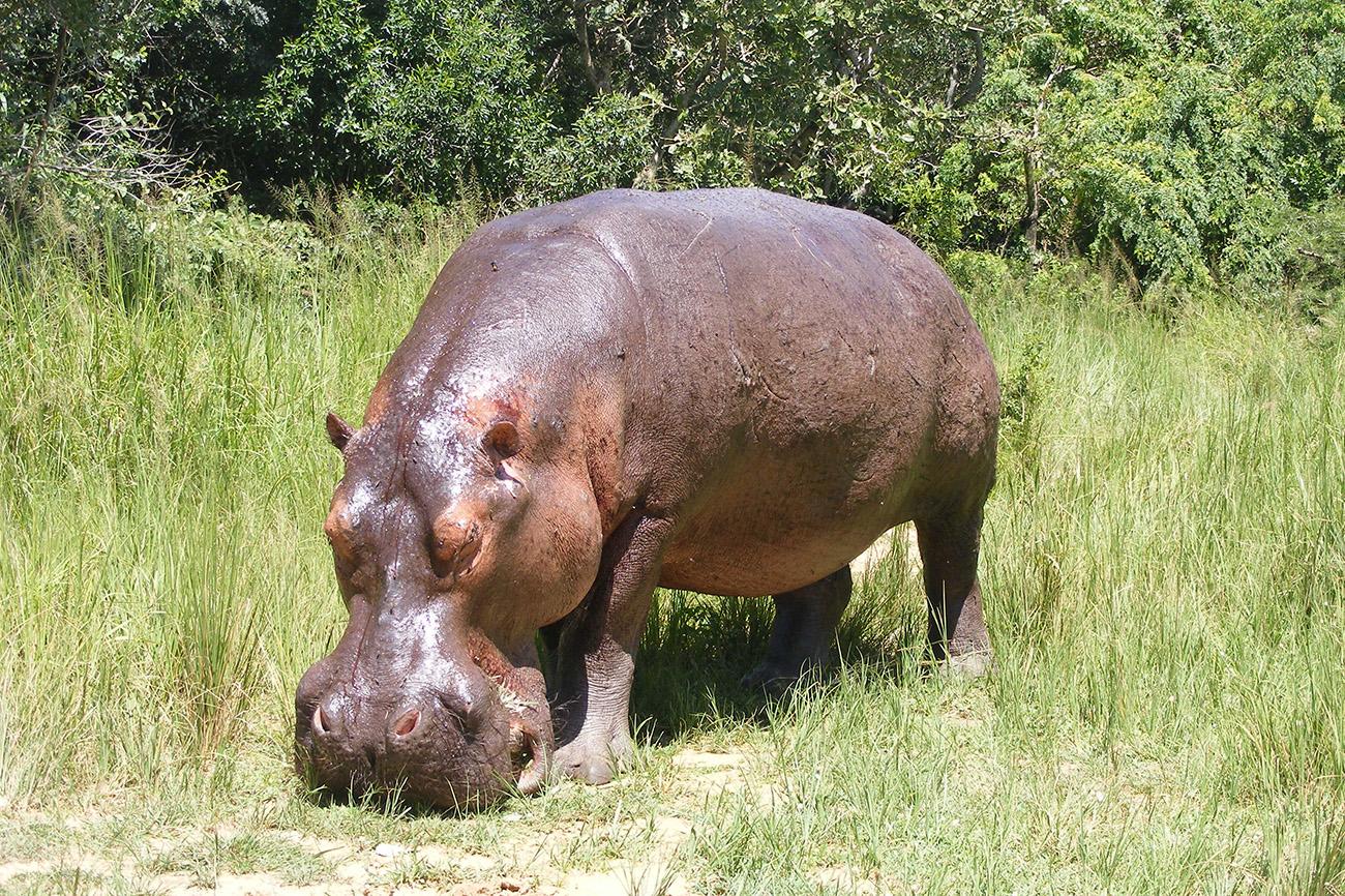Hippo feeding in Queen Elizabeth national park Uganda