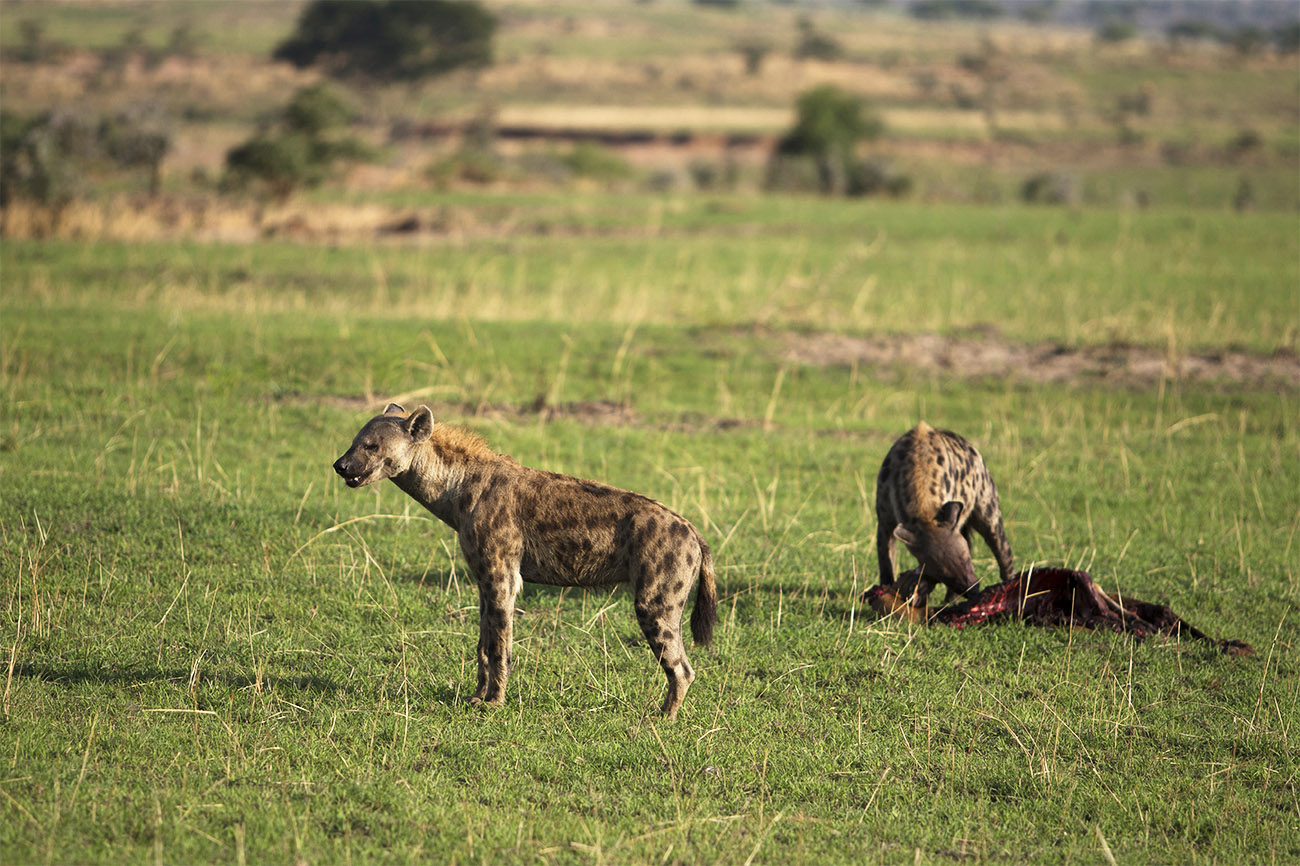 Spotted-Hyena feeds on prey in Queen Elizabeth national park