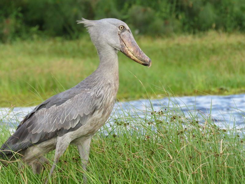 The elusive shoebill in Mabamba swamp Uganda