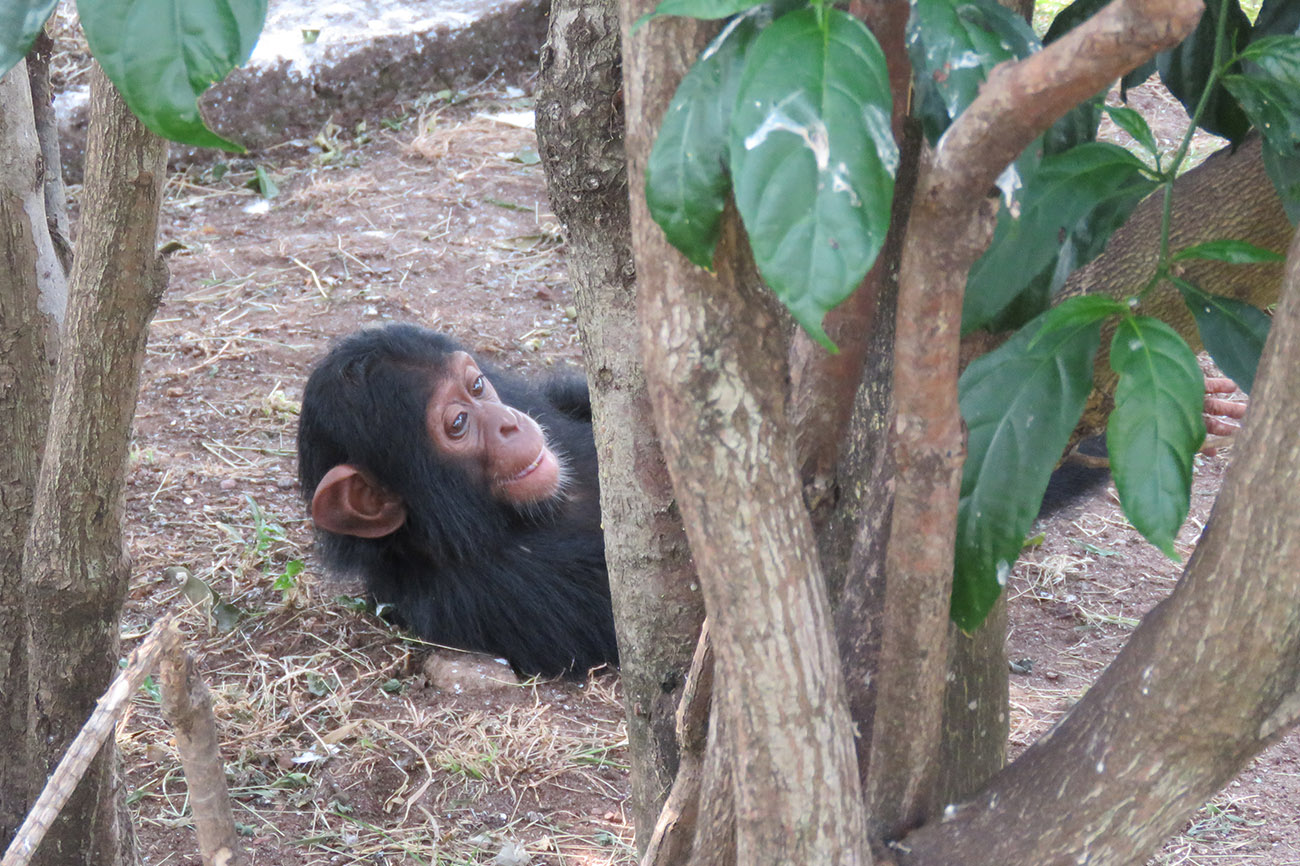 Baby Chimp playing Ngamba Island Chimpanzee Sanctuary