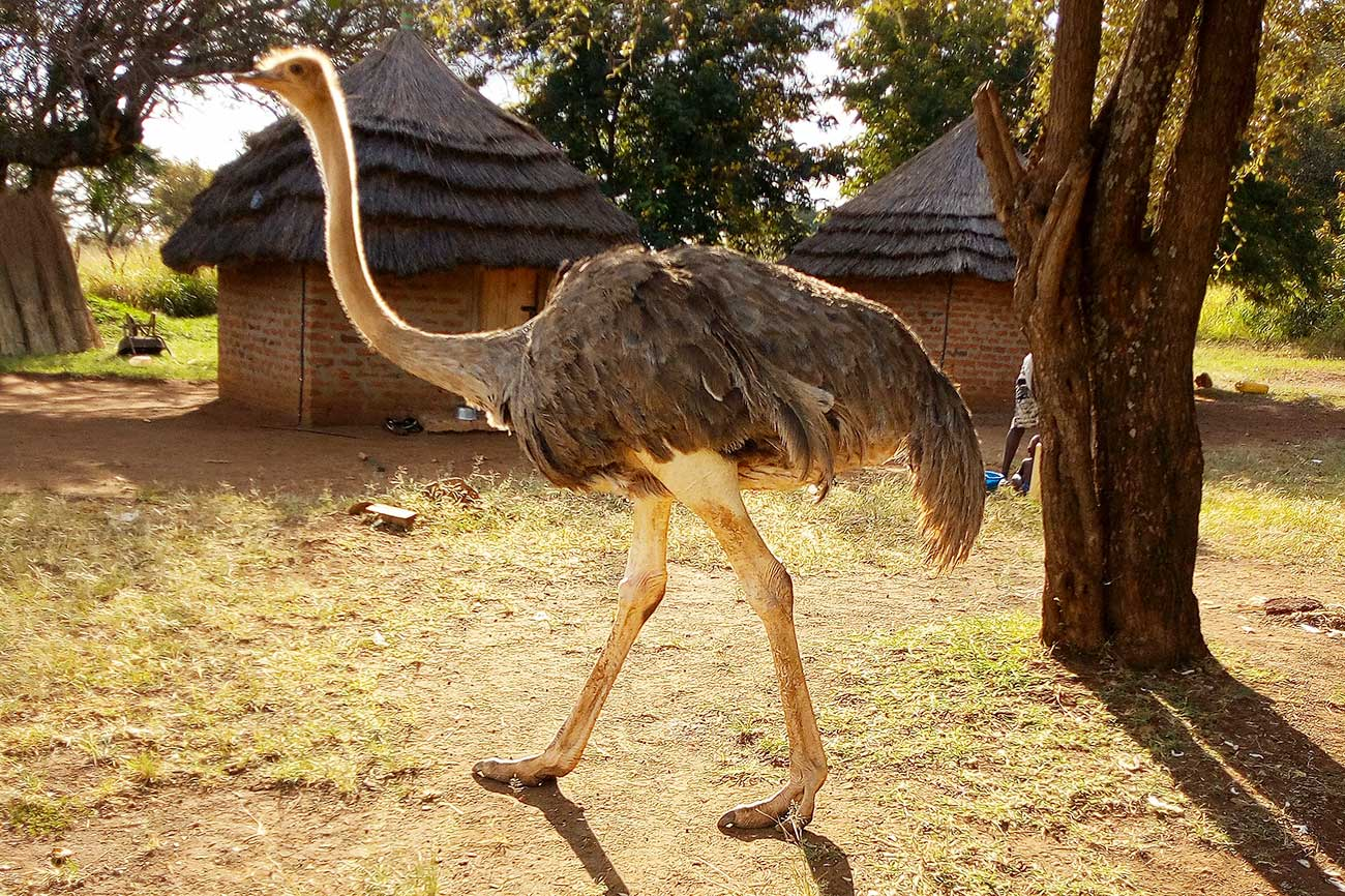 Ostrich at Pian Upe.