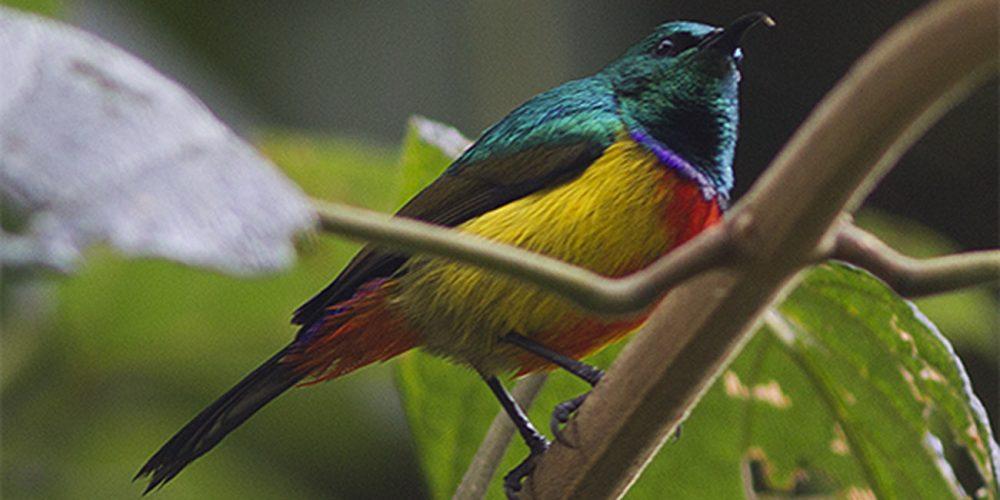 Regal Sunbird, Uganda