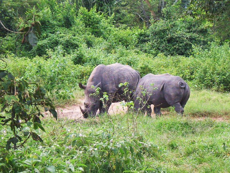Rhinos Uganda Ziwa Rhino sanctuary.