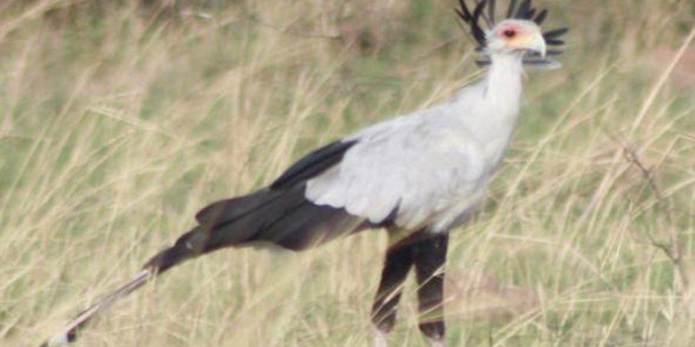 Secretary Bird in Uganda