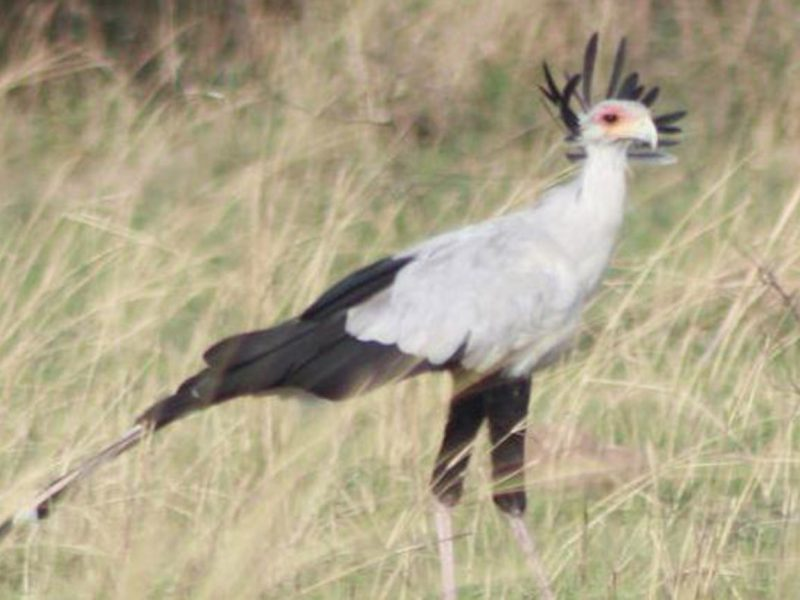 Secretary Bird in Murchison falls national park Uganda