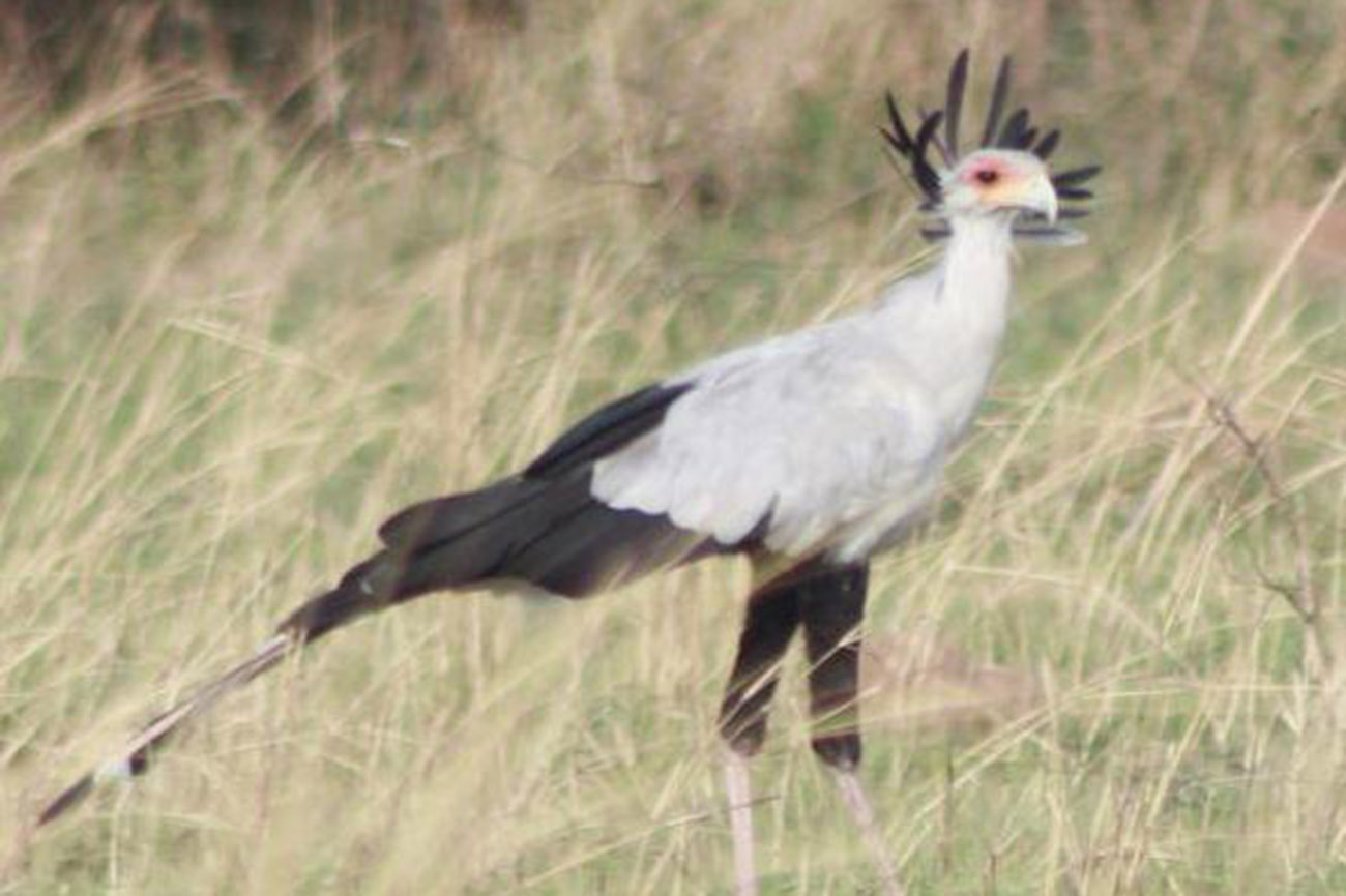 Secretary Bird in Murchison falls national park Uganda