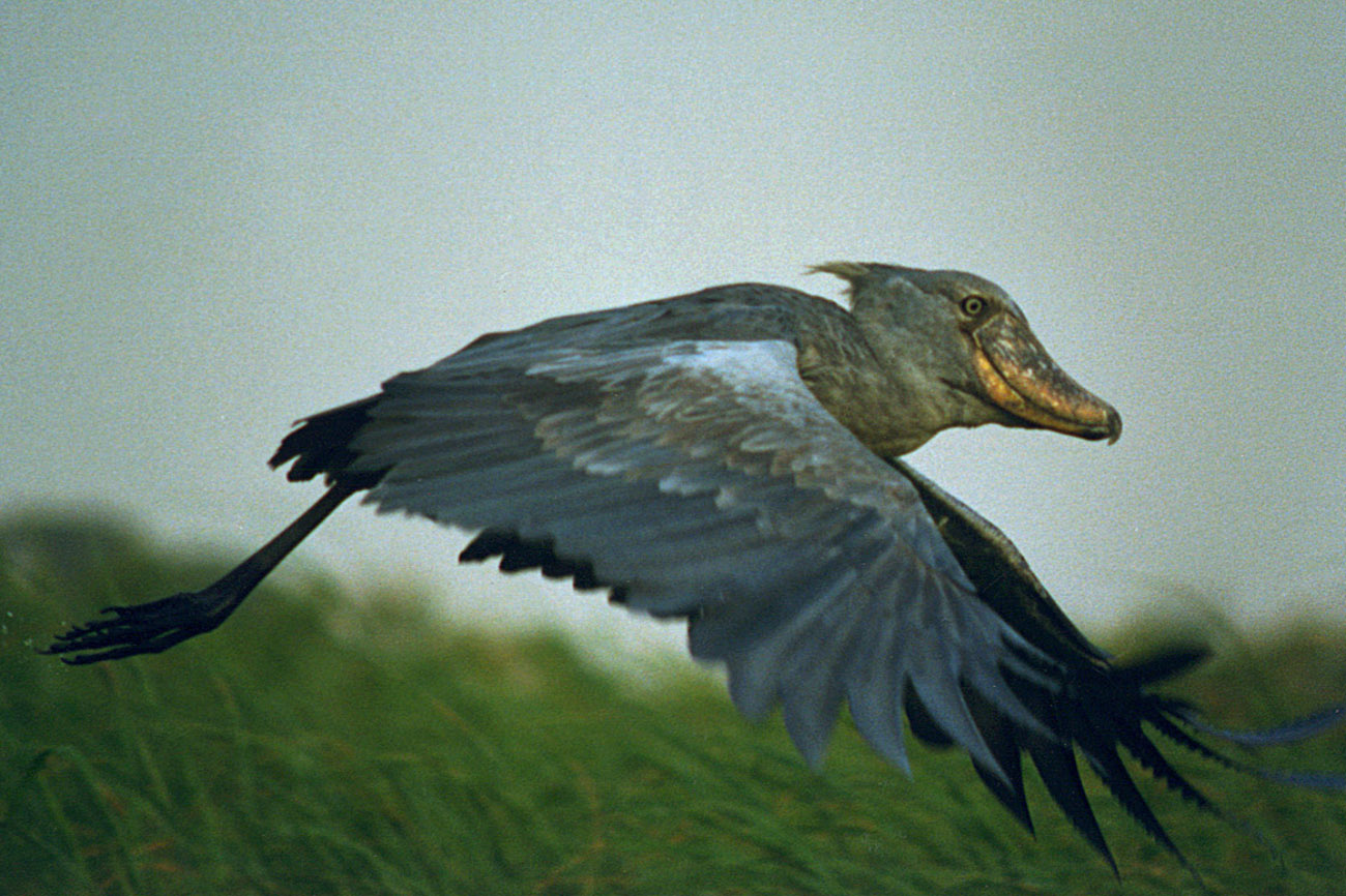 Go birding to spot the Shoebill in Uganda