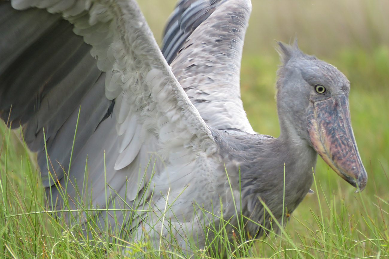 The elusive Shoebill Mabamba swamp Uganda