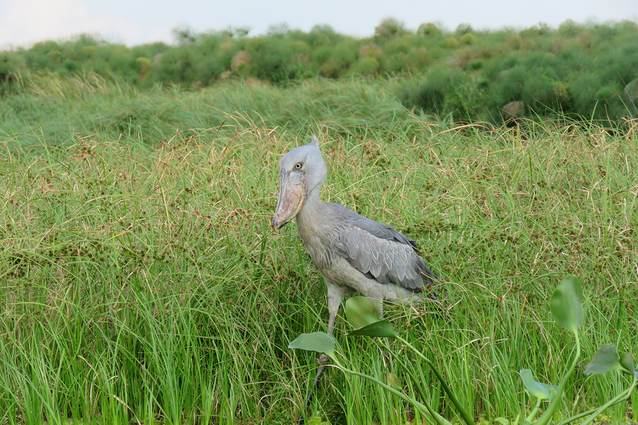 Shoebill in Mabamba swamp Uganda