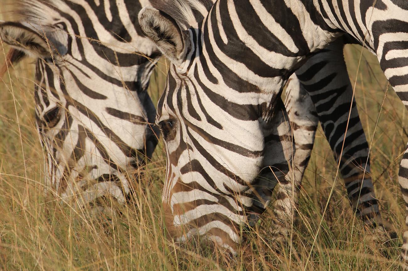 Zebras feeding on Uganda Safari.