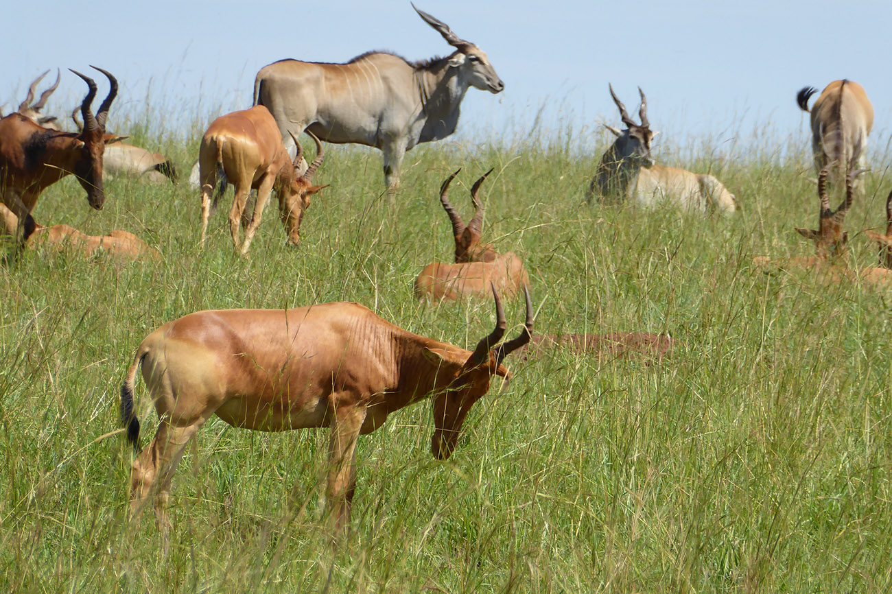Antelops in Kidepo Valley National Park.