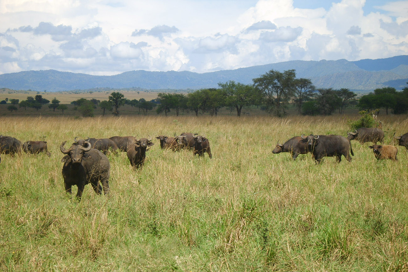 Buffalo herd in Kidepo Valley National Park.