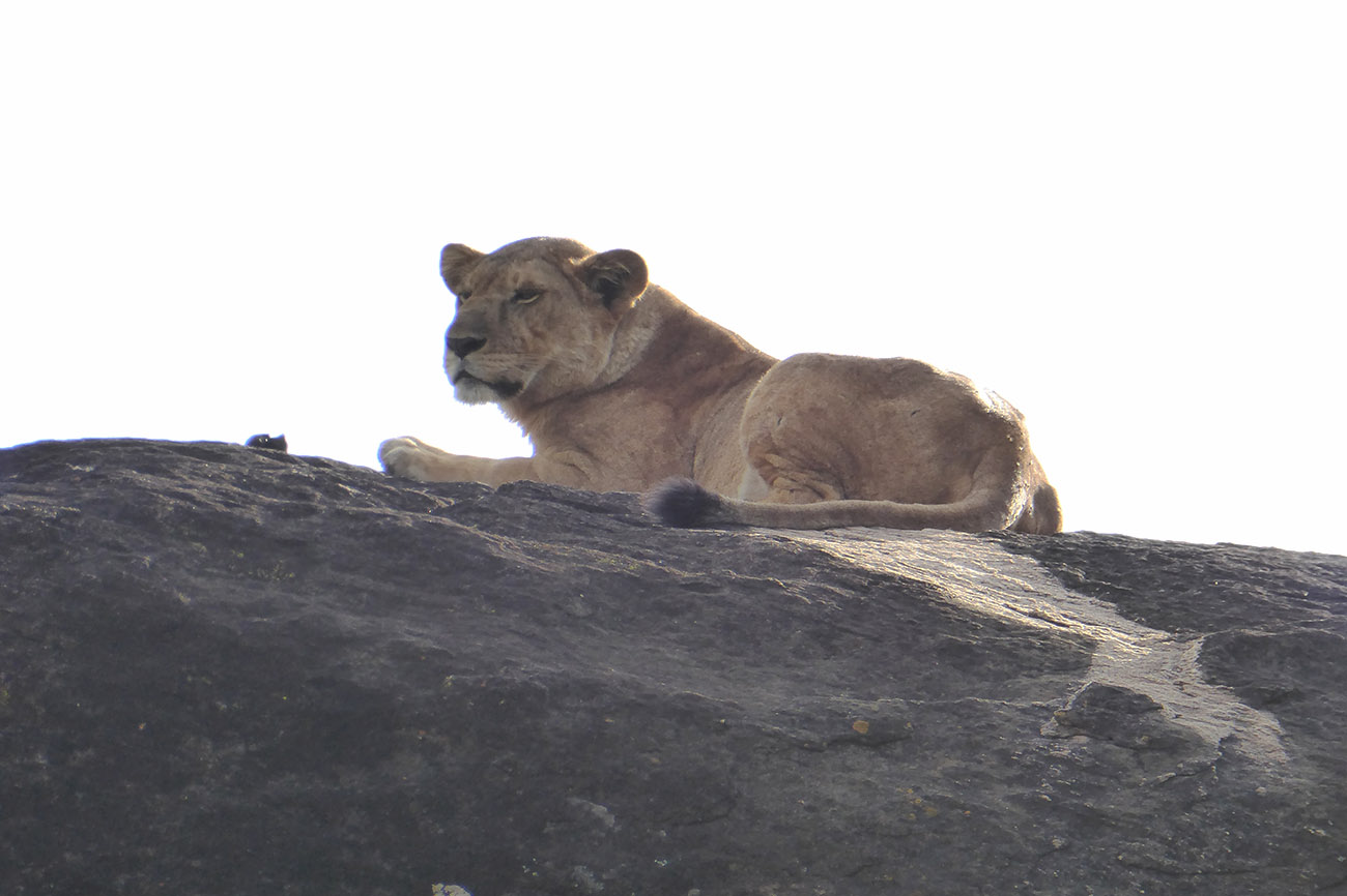 Relaxing lion in Kidepo valley national park, Uganda.