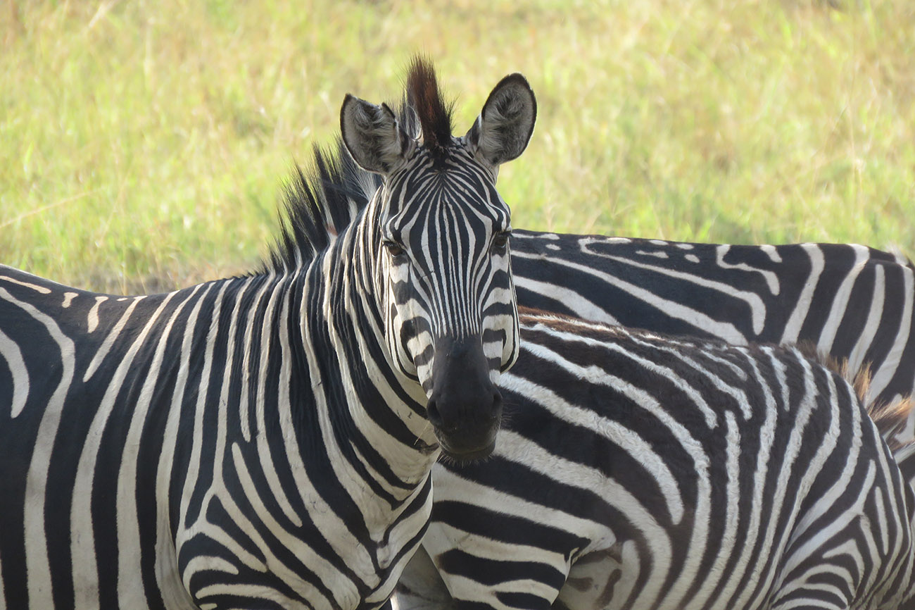Zebra in Uganda.