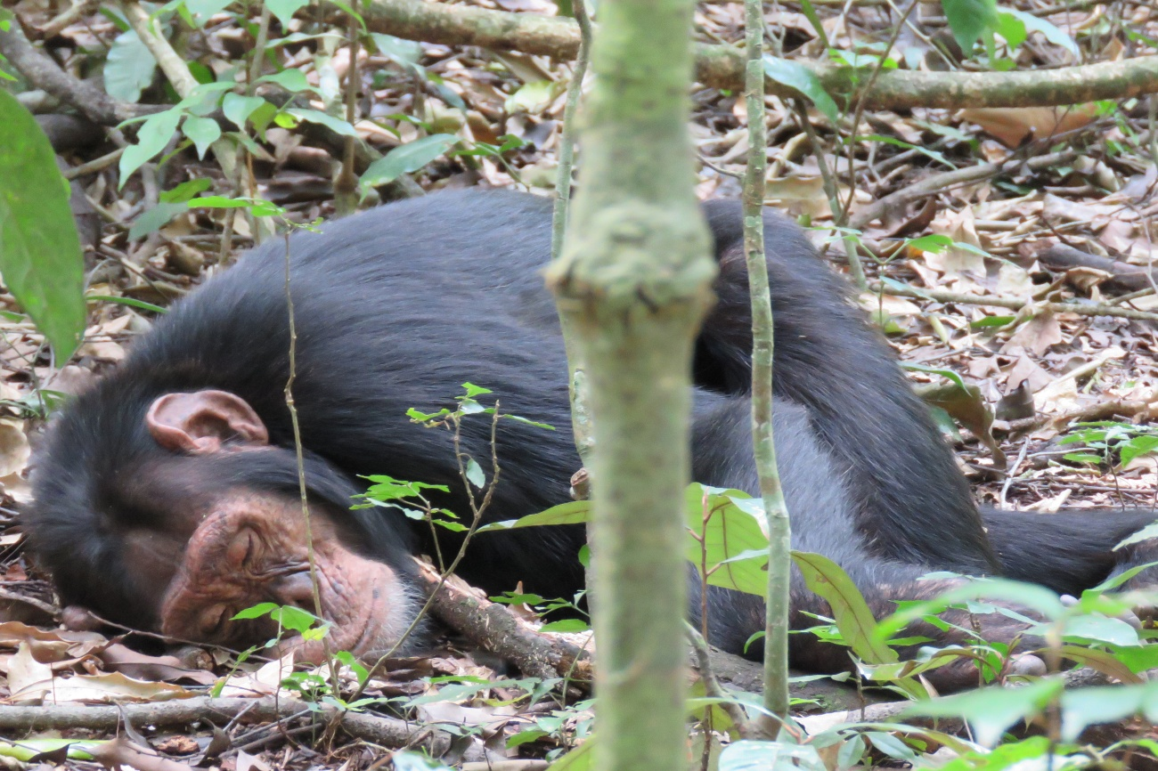Chimp snoozing Kibale forest Uganda