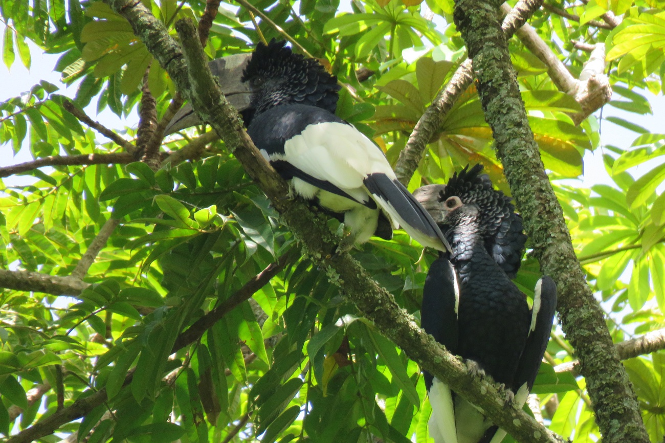 White thighed Hornbill at Botanical gardens Entebbe