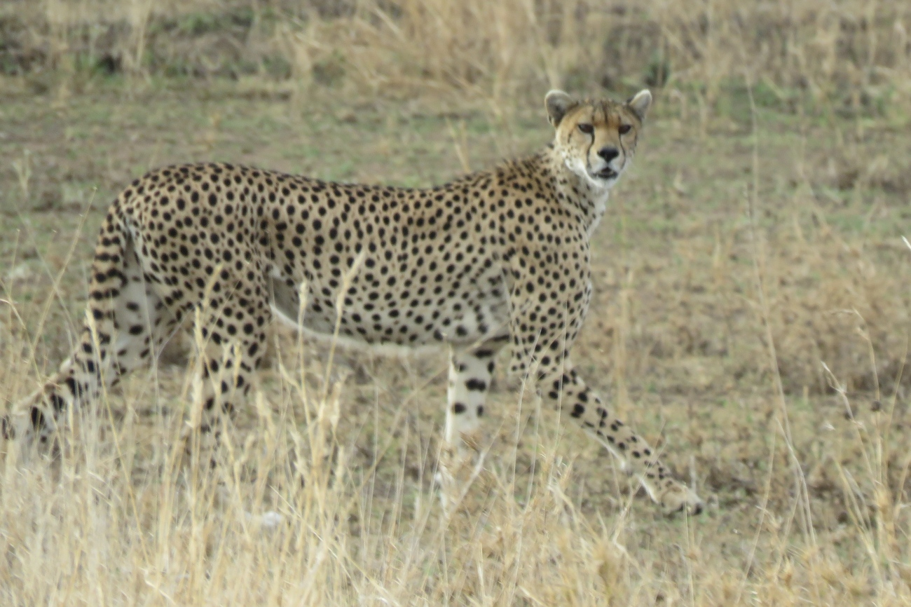 Cheetah Serengeti national park Tanzania