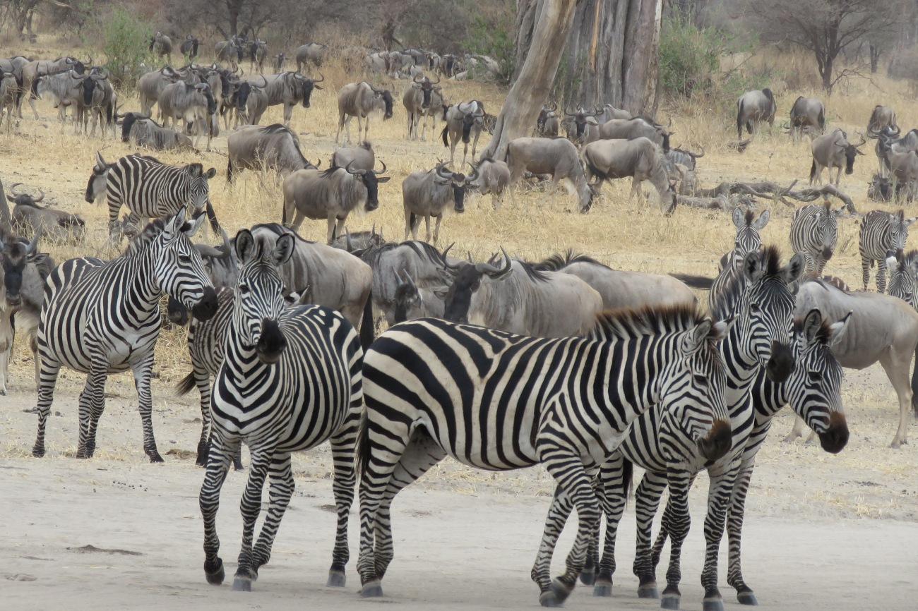 Zebras & wildbeest Serengeti national park Tanzania
