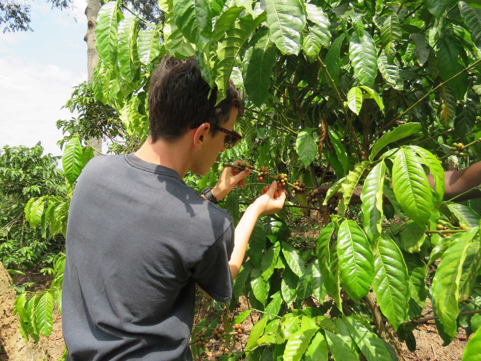 Harvesting coffee cherries in Uganda